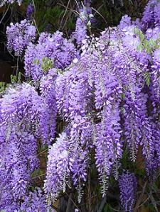 Wisteria -my japanese name meaning-